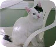 Domestic Shorthair Cat for adoption in Creston, British Columbia - Sneakers