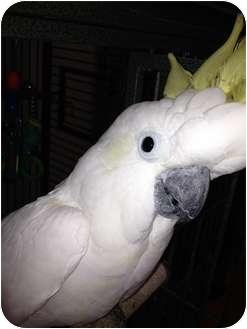Cockatoo for adoption in Punta Gorda, Florida - Hobbs