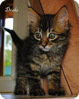 Domestic Longhair Kitten for adoption in Yuba City, California - Drake