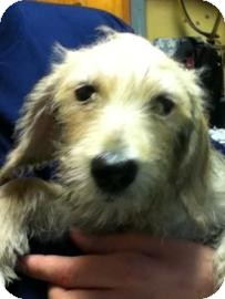 Terrier (Unknown Type, Medium) Mix Puppy for adoption in Brooklyn, New York - Marvin