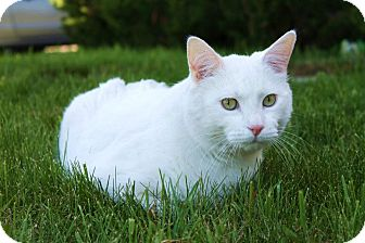Domestic Shorthair Cat for adoption in Invermere, British Columbia - Marshy (Marshmallow)