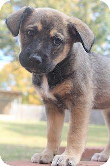 German Shepherd Dog/Labrador Retriever Mix Puppy for adoption in Hagerstown, Maryland - Strudel