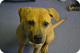 Pit Bull Terrier Mix Dog for adoption in Edwardsville, Illinois - Mya