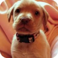 Labrador Retriever Mix Puppy for adoption in Cincinnati, Ohio - Holly