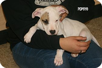 American Pit Bull Terrier Mix Puppy for adoption in Yuba City, California - 12/30 Popeye