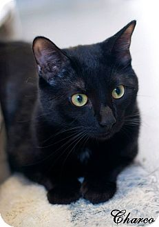 Domestic Shorthair Cat for adoption in Manahawkin, New Jersey - Charco