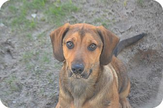 Hound (Unknown Type)/German Shepherd Dog Mix Puppy for adoption in Weeki Wachee, Florida - Bentley