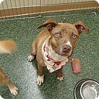 Adopt A Pet :: Athena - Norman, OK