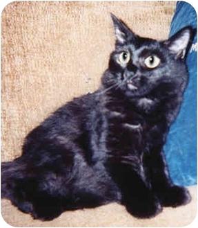 Maine Coon Cat for adoption in Marina del Rey, California - Monique