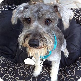 Schnauzer (Miniature) Mix Dog for adoption in Redondo Beach, California - Beverly