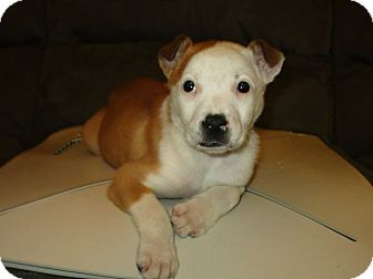 American Bulldog Mix Puppy for adoption in New Oxford, Pennsylvania - Puddles