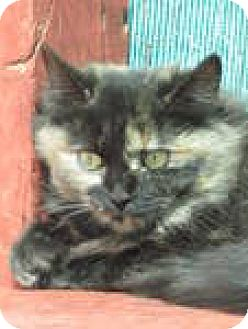 Domestic Longhair Cat for adoption in Las Cruces, New Mexico - Wylie