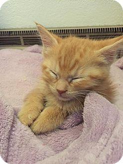 Domestic Shorthair Kitten for adoption in Rockford, Illinois - Amelia