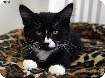 Domestic Mediumhair Kitten for adoption in Republic, Washington - Penguin
