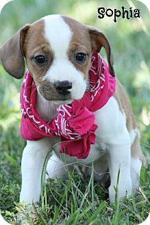 Rat Terrier/Hound (Unknown Type) Mix Puppy for adoption in Brattleboro, Vermont - Sophia