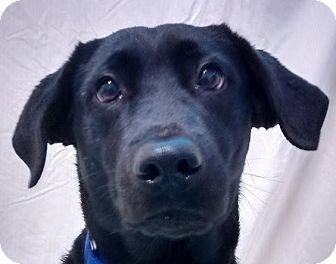 Labrador Retriever/Newfoundland Mix Dog for adoption in Springfield, Vermont - Summer