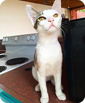 Calico Kitten for adoption in Miami, Florida - Cassi