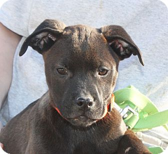Labrador Retriever Mix Puppy for adoption in kennebunkport, Maine - Silas - PENDING, in Maine
