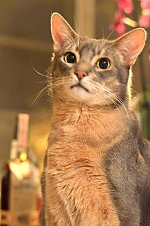 Abyssinian Cat for adoption in Los Angeles, California - Stormy