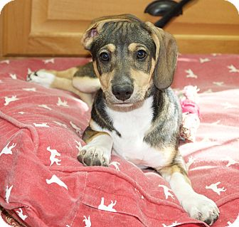 Dachshund/Wirehaired Fox Terrier Mix Puppy for adoption in Austin, Texas - Bailey