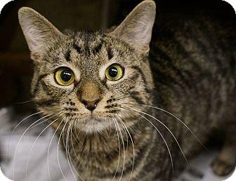 Domestic Shorthair Cat for adoption in Monroe, Georgia - Kiwi
