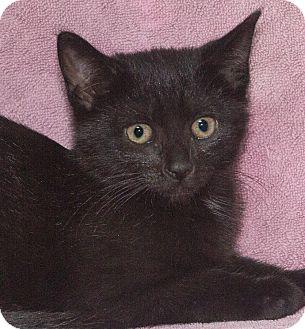Domestic Shorthair Kitten for adoption in Elmwood Park, New Jersey - Mystique