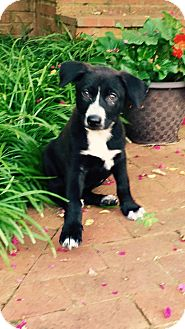 Border Collie/Shepherd (Unknown Type) Mix Puppy for adoption in Eden Prairie, Minnesota - Mae