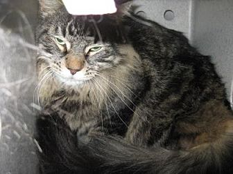 Domestic Shorthair Cat for adoption in Roseville, California - Bast