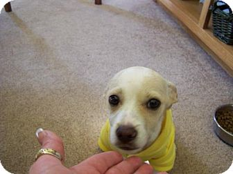 Chihuahua Mix Puppy for adoption in DeLand, Florida - Wilson