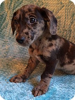 Dachshund/Border Collie Mix Puppy for adoption in SOUTHINGTON, Connecticut - Jude