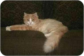 Domestic Longhair Cat for adoption in Owatonna, Minnesota - Diva