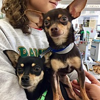 Miniature Pinscher Mix Dog for adoption in Monrovia, California - Hallie