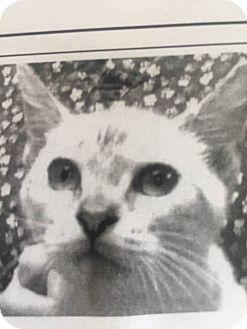 Siamese Kitten for adoption in Warner Robins, Georgia - Larry