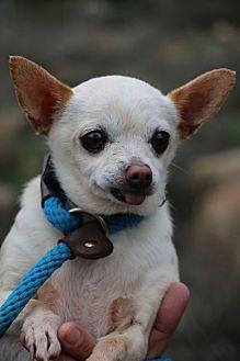Chihuahua Mix Dog for adoption in Fillmore, California - Mona