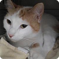 Domestic Shorthair Cat for adoption in Cloquet, Minnesota - Magnolia
