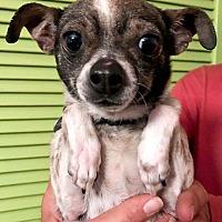 Adopt A Pet :: Maisy - Marina del Rey, CA