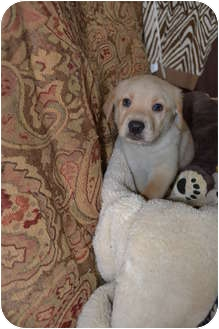 Labrador Retriever Mix Puppy for adoption in Salem, Massachusetts - Daffy