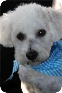 Poodle (Miniature)/Bichon Frise Mix Dog for adoption in Yuba City, California - Oliver