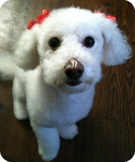 Poodle (Toy or Tea Cup)/Bichon Frise Mix Dog for adoption in Mission Viejo, California - LOLA