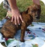 Labrador Retriever/Boxer Mix Puppy for adoption in Westerly, Rhode Island - Joey