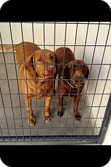 Labrador Retriever Dog for adoption in Knoxville, Tennessee - Candie & Diamond