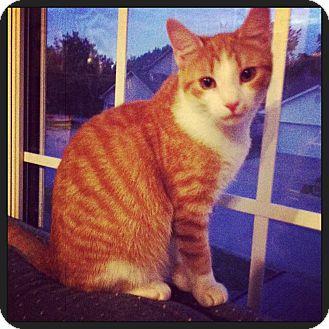 Domestic Shorthair Kitten for adoption in Lexington, Kentucky - Carlisle