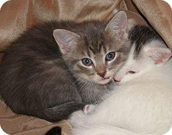Domestic Shorthair Kitten for adoption in Owatonna, Minnesota - Charlie