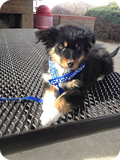 Australian Shepherd/Bernese Mountain Dog Mix Puppy for adoption in Westminster, Colorado - Naira