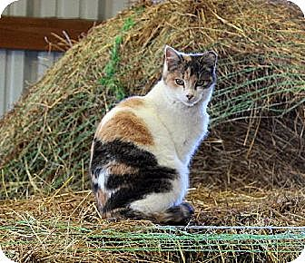 Calico Cat for adoption in Muldrow, Oklahoma - Joelle