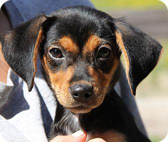 Dachshund Mix Puppy for adoption in Stamford, Connecticut - Annabelle