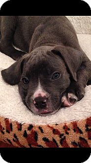 American Bulldog/Mastiff Mix Puppy for adoption in El Segundo, California - Blue