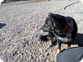 Border Collie Mix Dog for adoption in Edgewood, New Mexico - Jessie