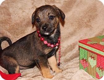 Shepherd (Unknown Type) Mix Puppy for adoption in Yadkinville, North Carolina - Jada