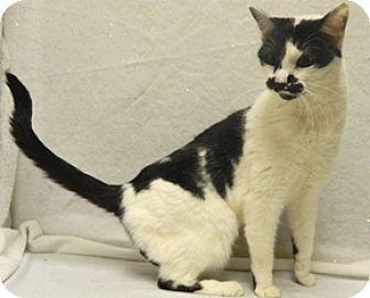 Domestic Shorthair Cat for adoption in Columbus, Nebraska - Spud